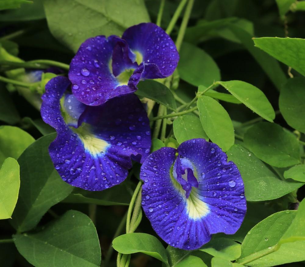 Bản chất hoa đậu biếc