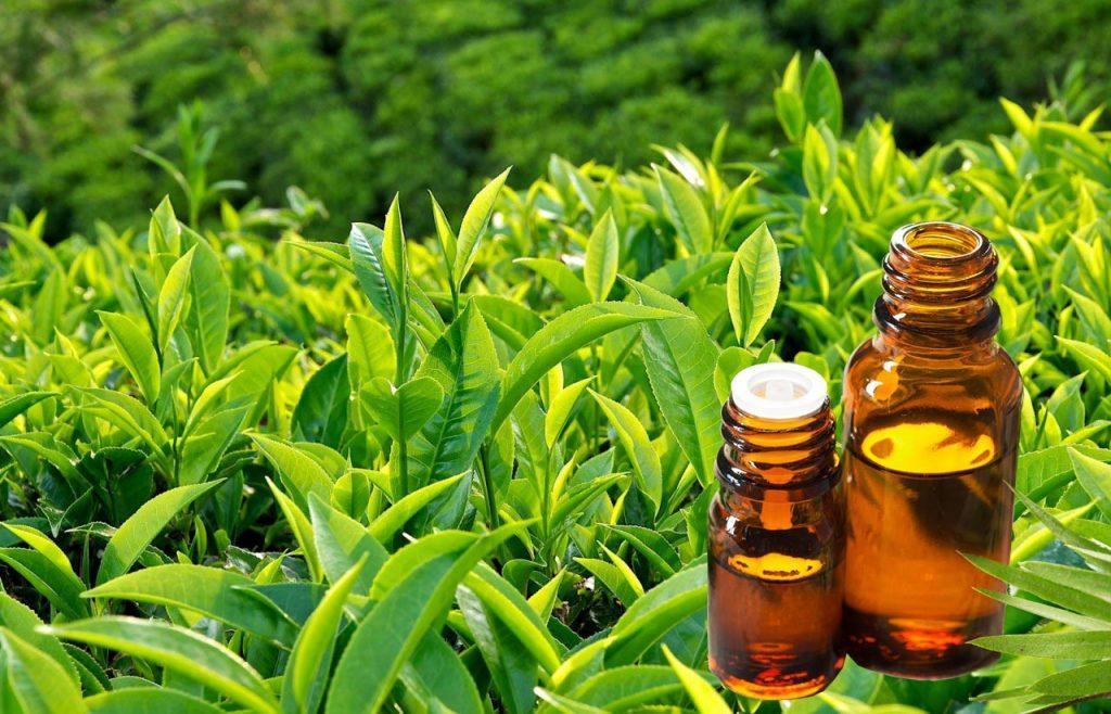 Lợi ích từ tinh dầu trà xanh